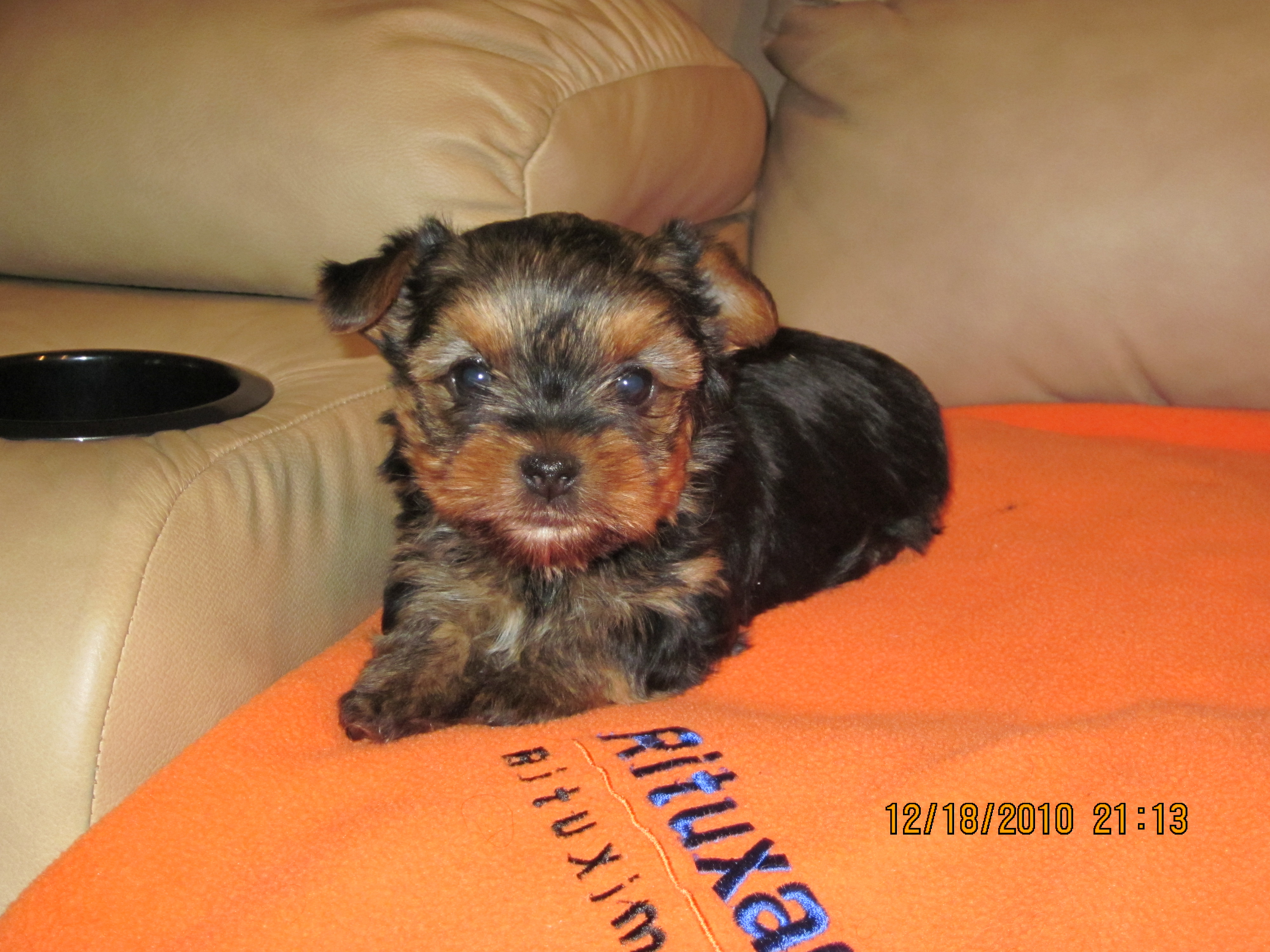 Displaying 17> Images For - Baby Yorkies...